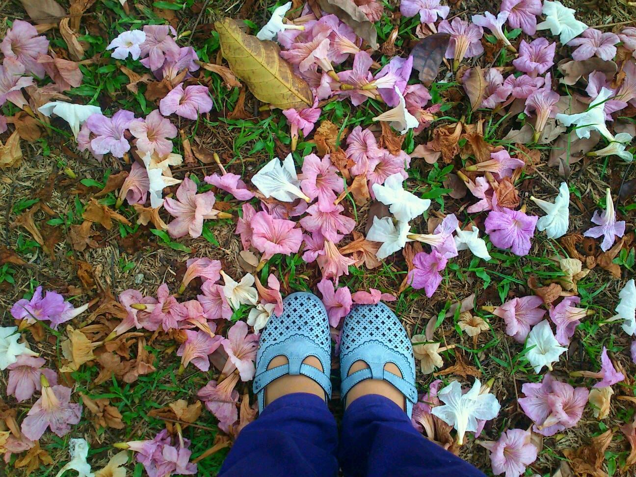 Musim bunga sakura di Kedah