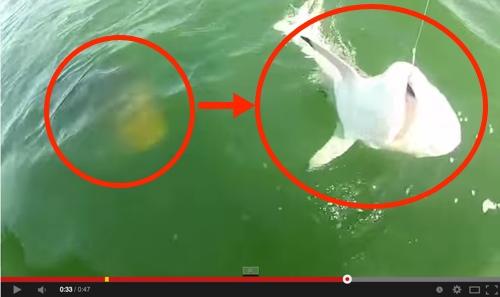 Ikan Kerapu Gergasi Ini Baham Jerung Dengan Sekali 'Ngap'